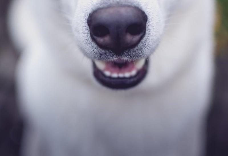 dog-teeth